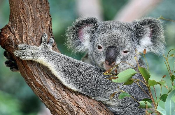 koala on a tree looking at camera
